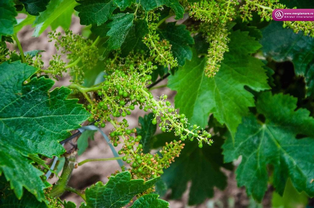 19-Vinul-Alira-merglamare